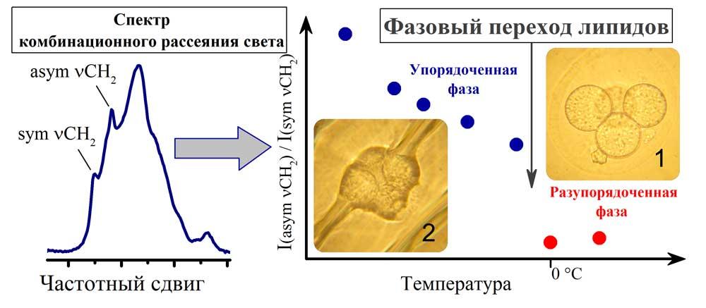 Липиды при замораживании эмбрионов